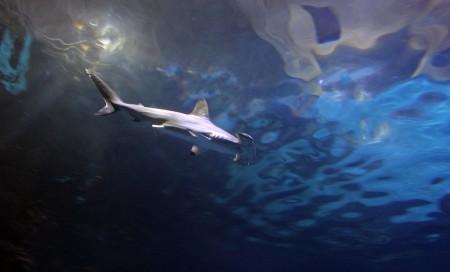 Hammerhead Shark at Shark Reef