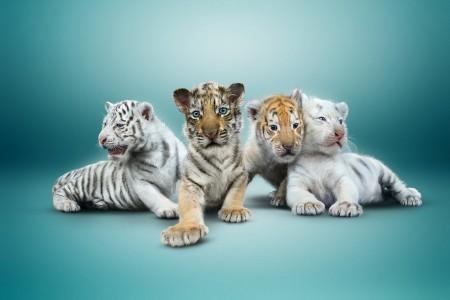 Sarmoti Tiger Cubs 2015