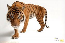 tiger nat geo