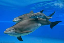 Siegfried & Roy's Secret Garden And Dolphin Habitat Welcomes New Dolphin Calf